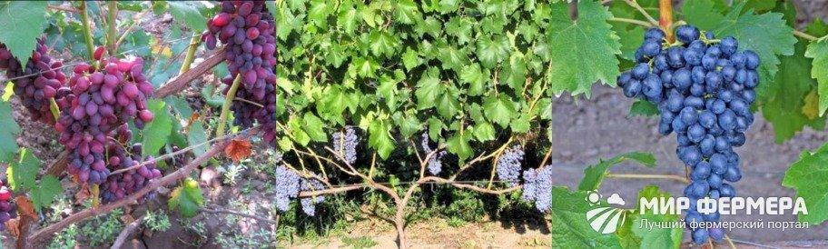 Сорт винограда юпитер: описание, преимущества и недостатки, технология выращивания