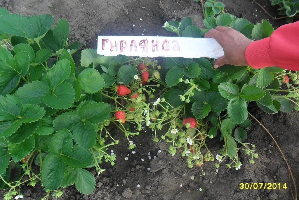 ✅ клубника гирлянда описание сорта. клубника гирлянда: описание сорта, выращивание, уход - живой-сад.рф