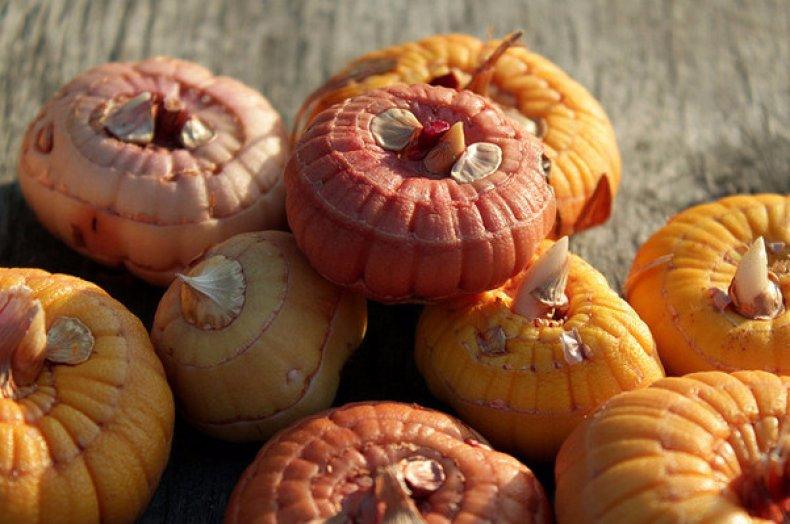 Когда выкапывать луковицы гладиолусов на зиму и как их хранить