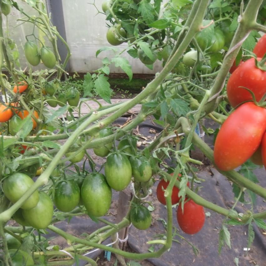 Томат голицын: характеристика и описание сорта, фото семян, отзывы тех кто сажал помидоры об их урожайности