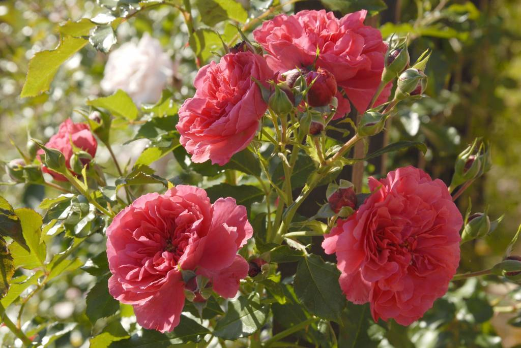 Роза плетистая «розариум ютерсен»: описание и как обрезать розу