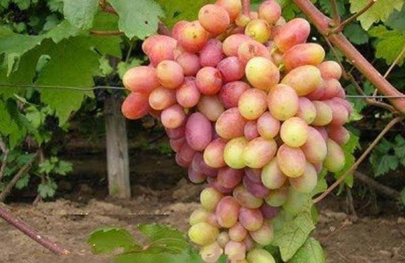 Виноград преображение: описание сорта, выращивание, уход, плюсы и минусы, отзывы
