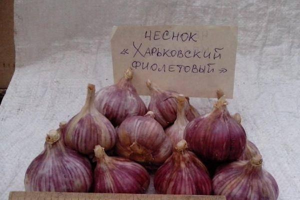 Описание и характеристика сорта чеснока Харьковский фиолетовый, его выращивание