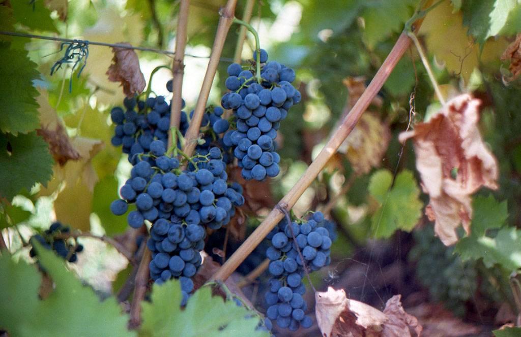 Виноград саперави северный: описание, отзывы о винном сорте, уход