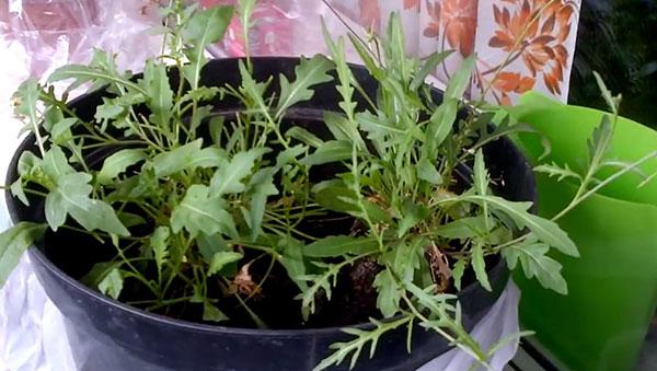 Рукола: выращивание из семян на подоконнике в домашних условиях, как вырастить в горшке дома