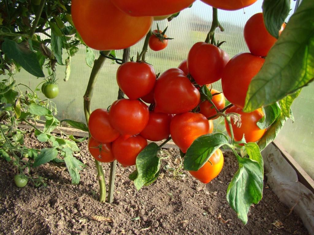 Лучшие семена томатов для выращивания в сибири