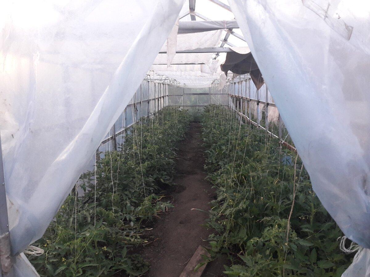 Выращивание помидоров в пленочных теплицах: секреты посадки и ухода