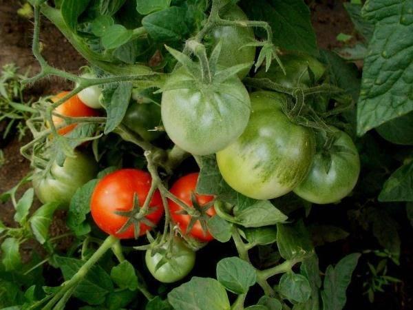 Сортовые характеристики томата «клуша»: описание, фото, урожайность