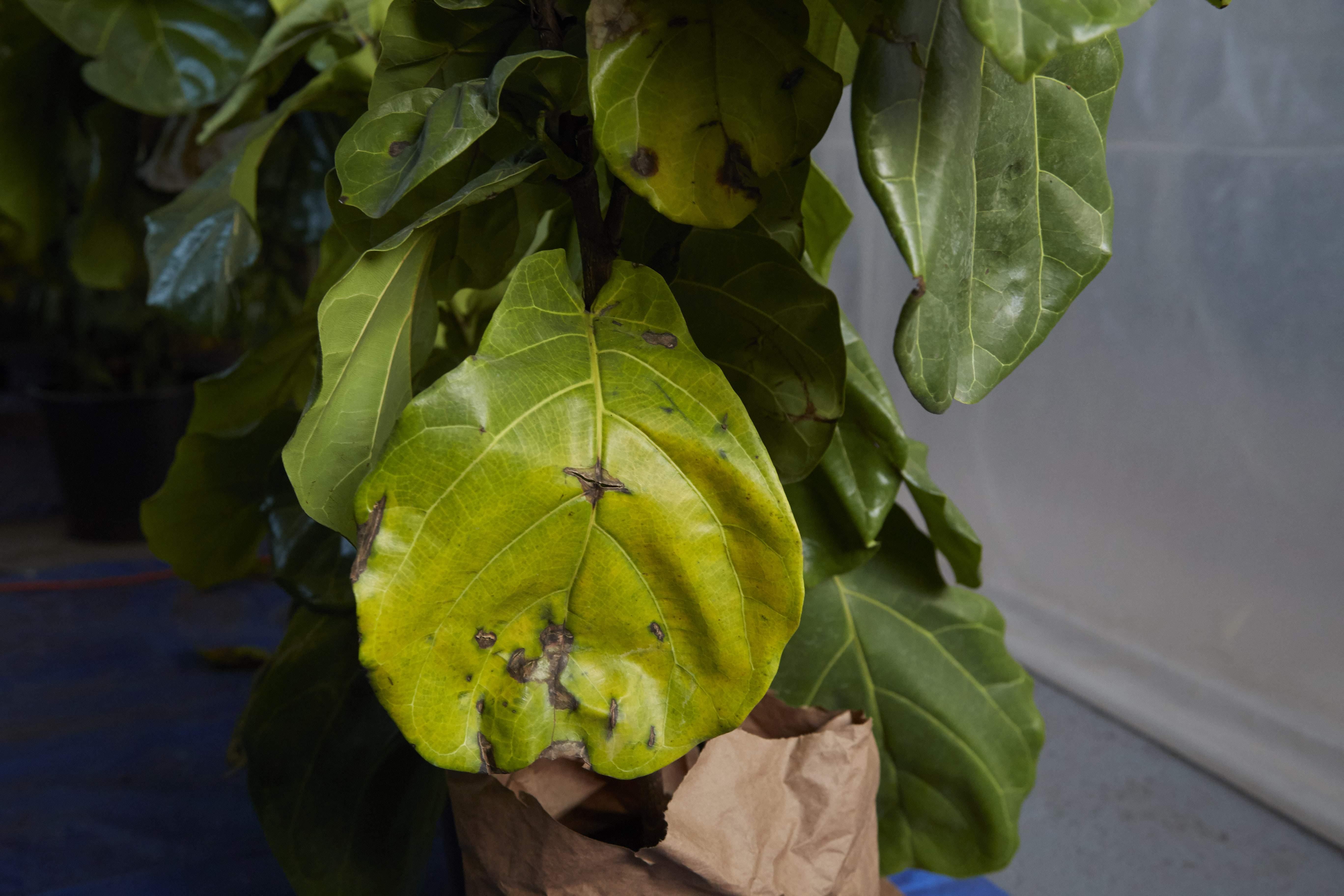 Причины, почему опадают листья у лимона, что делать и как оживить растение