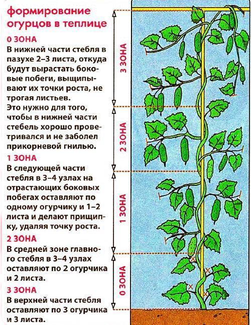 Посадка огурцов рассадой в теплицу > схема + технология + видео