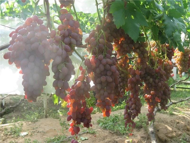 Виноград румба: описание сорта, фото, урожайность, отзывы