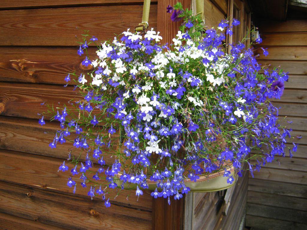 Цветы лобелии ампельной. выращивание из семян в домашних условиях