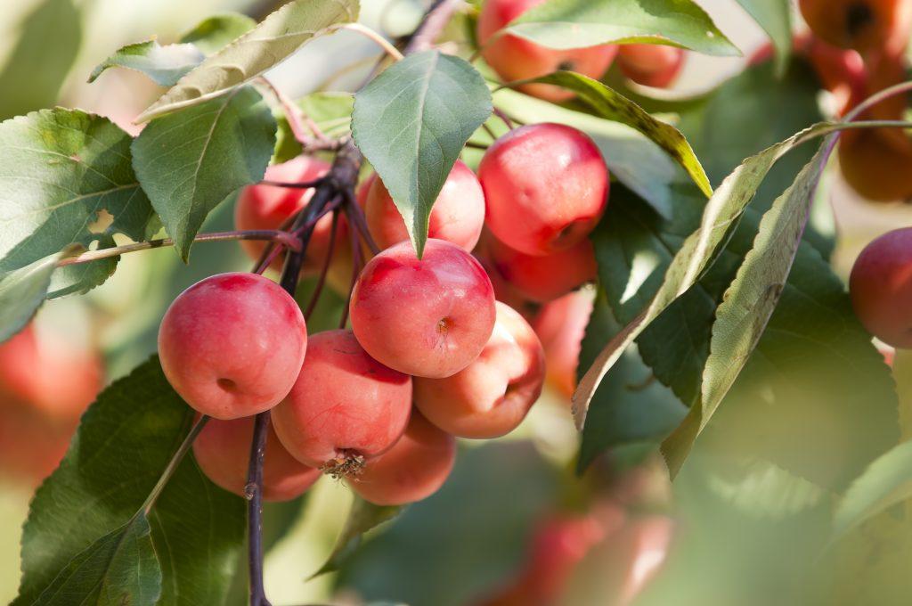 Яблоня ягодная сибирская: фото и описание устойчивого сорта, его плоды