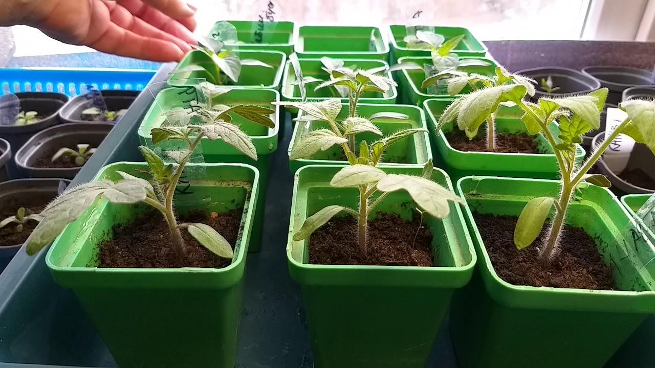Выращивание болгарского перца: подготовка и посев семян, правила ухода за рассадой, технология и сроки пикировки, высадка, советы октябрины ганичкиной