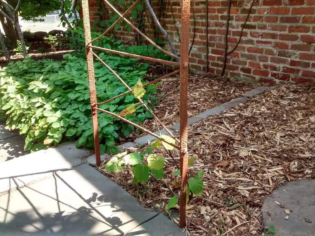 Растение актинидия: описание, посадка и уход в подмосковье и в сибири в открытый грунт, лучшие сорта