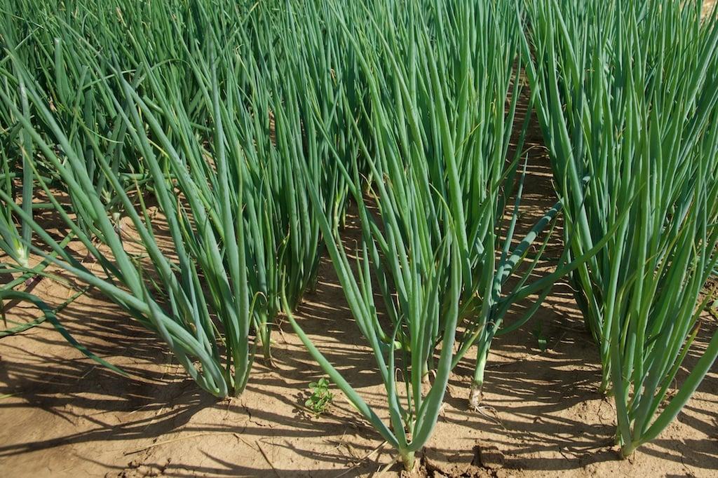 Выращивание лука из семян за один сезон (год): подходящие сорта, порядок действий, сбор и хранение урожая репчатого лука