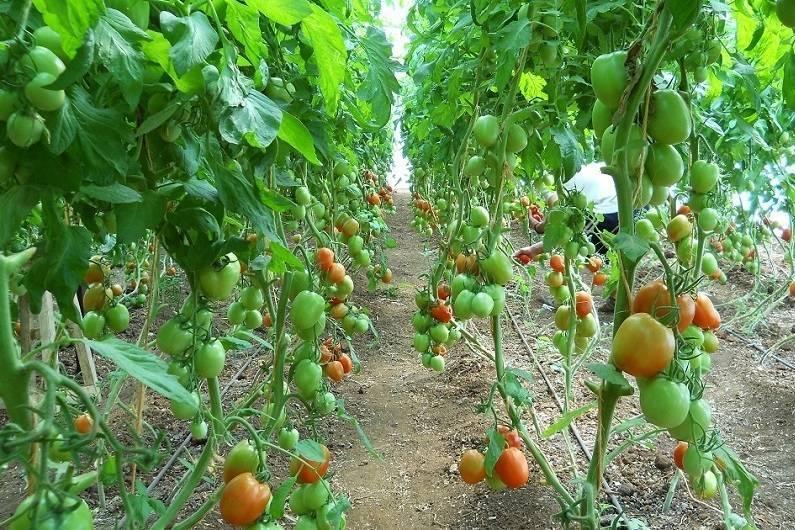 Выращивание и уход за томатами в теплице от посадки до урожая