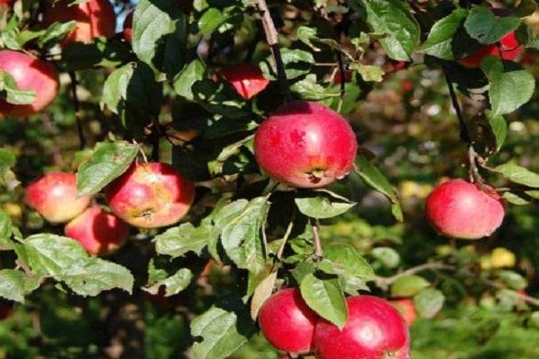 Описание сорта яблони квинти: фото яблок, важные характеристики, урожайность с дерева