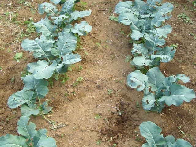 Как вырастить брокколи в домашних условиях и в открытом грунте? советы с фото и видео на ydoo.info
