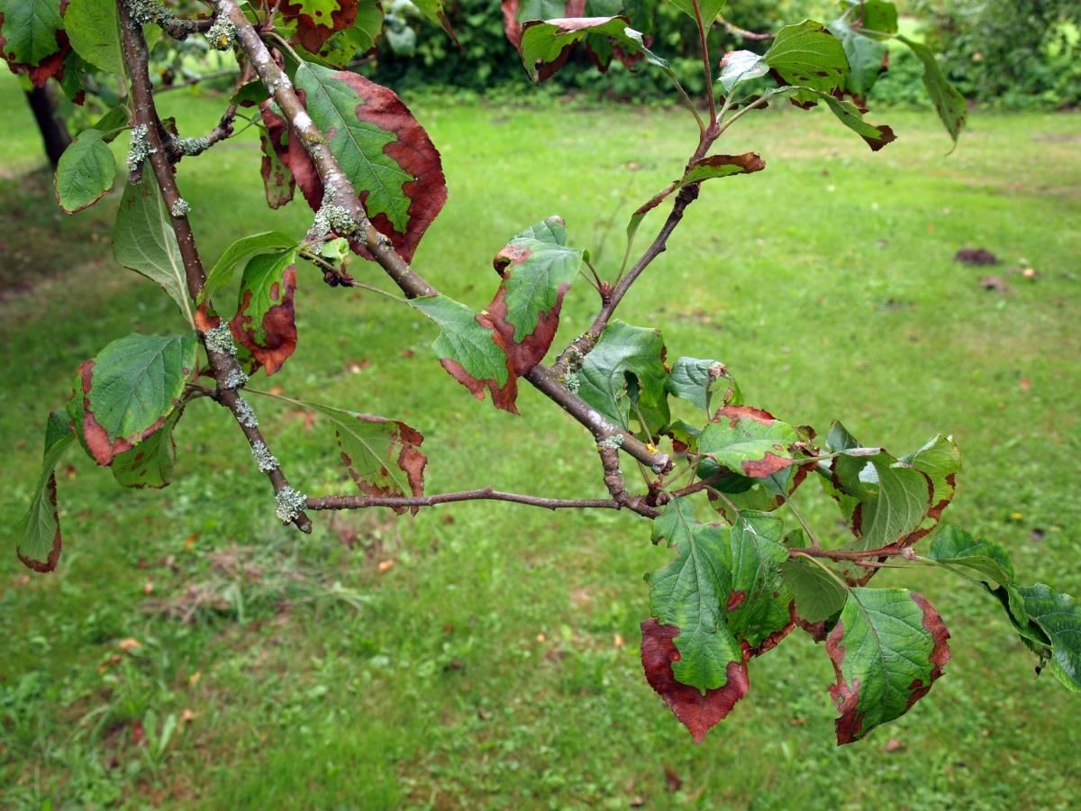 Почему у яблони засыхают листья, что делать если они скручиваются и меняют цвет