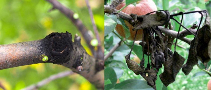 Как лечить яблоню от черного рака