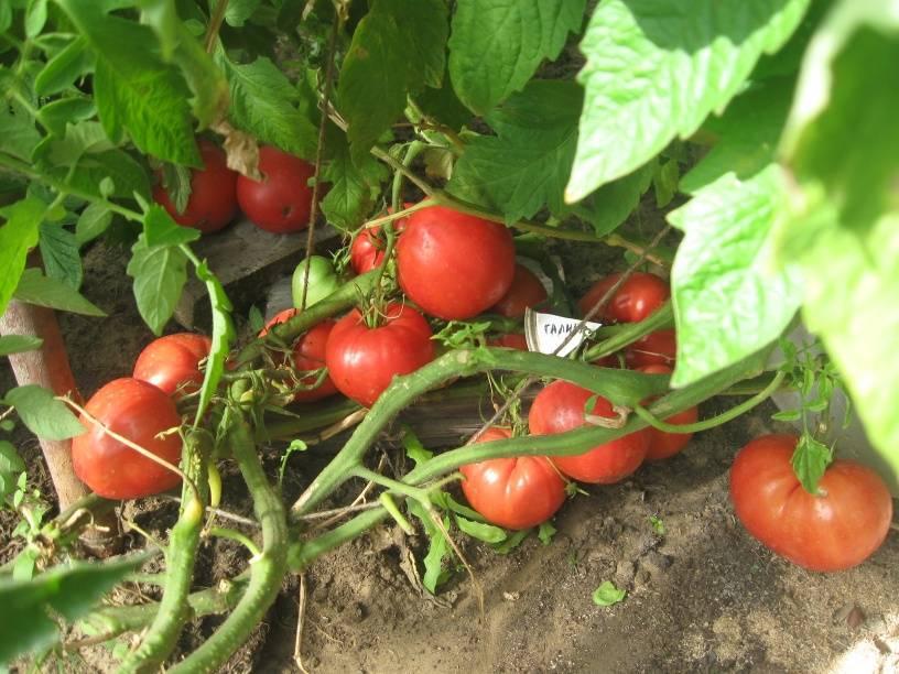 Томат семёновна - описание сорта, характеристика, урожайность, отзывы, фото