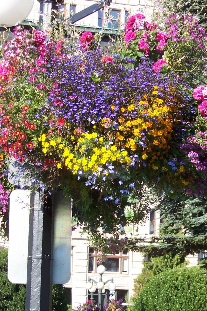 Ампельные цветы для кухни, выбор и уход - фото примеров