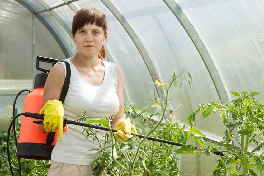 Выращивание роз в парнике: подробная инструкция для начинающих