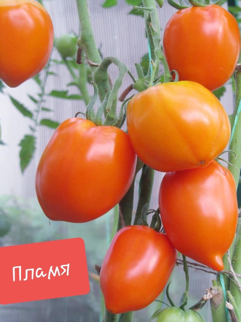Томат искры пламени: характеристика и описание сорта, урожайность с фото