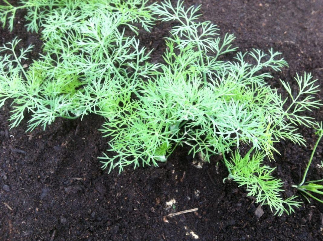 Как вырастить укроп в теплице зимой? особенности выращивания петрушки в аналогичных условиях: сколько растет и какая урожайность?