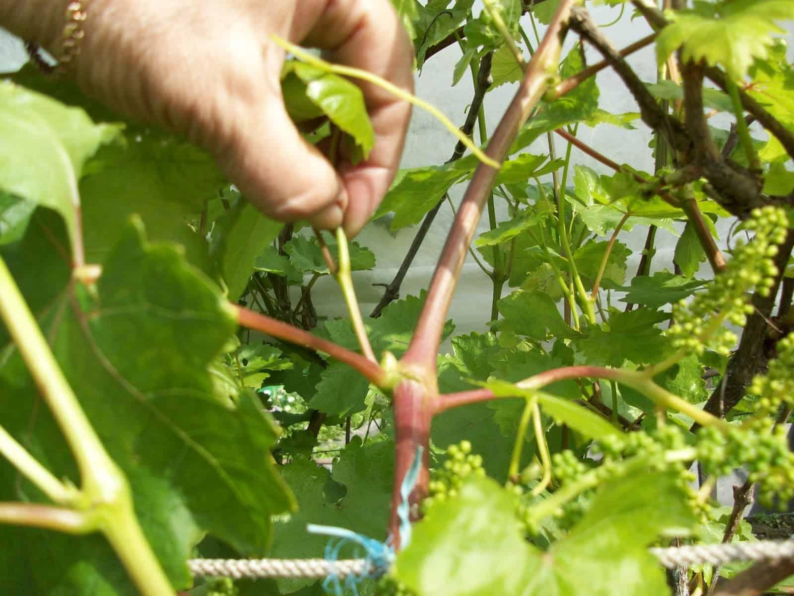 Как правильно поливать виноград в весеннее и летнее время