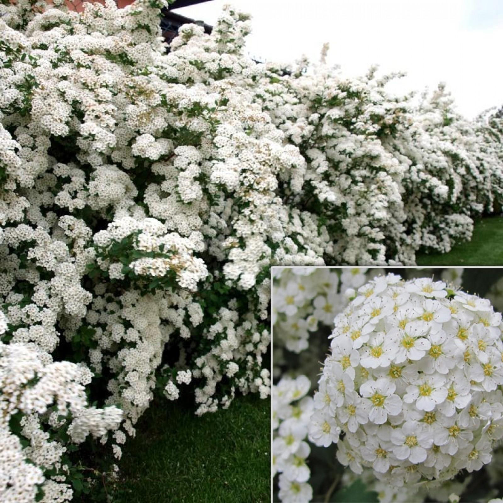 Спирея вангутта (49 фото): посадка и уход, описание кустарника и обрезка после цветения, сорта «пинк айс» и «белая невеста», использование в ландшафтном дизайне