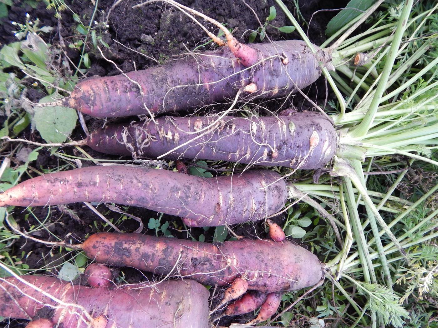 Фиолетовая морковь - характеристика этого сорта с фото