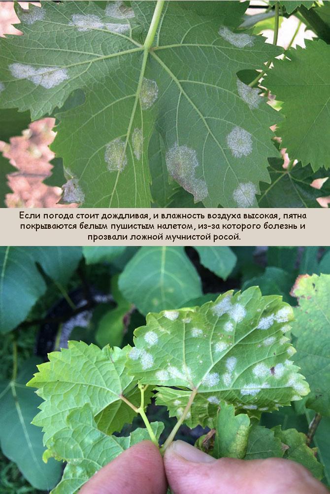 Препараты для профилактики и лечения антракноза на винограде