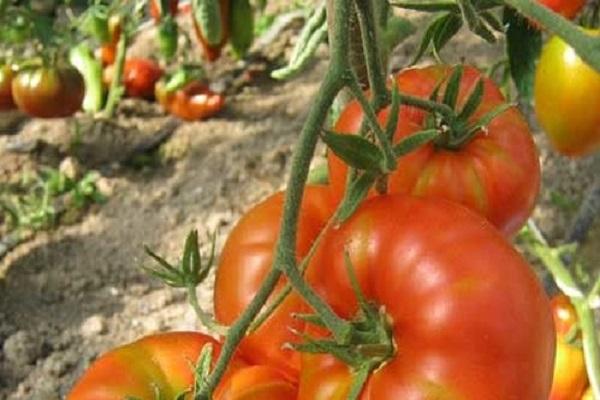 Томат жар: характеристика и описание сорта, выращивание и уход с фото