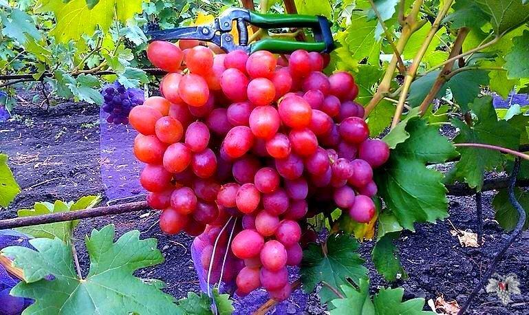 Виноград сорта анюта: подробное описание, фото и отзывы