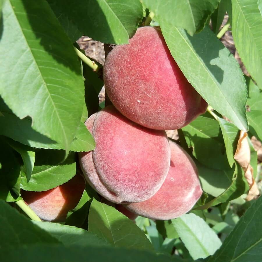 Выращиваем фруктовое дерево персик на приусадебном участке