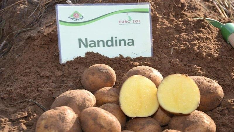 Описание сорта картофеля утро раннее, его характеристика и урожайность
