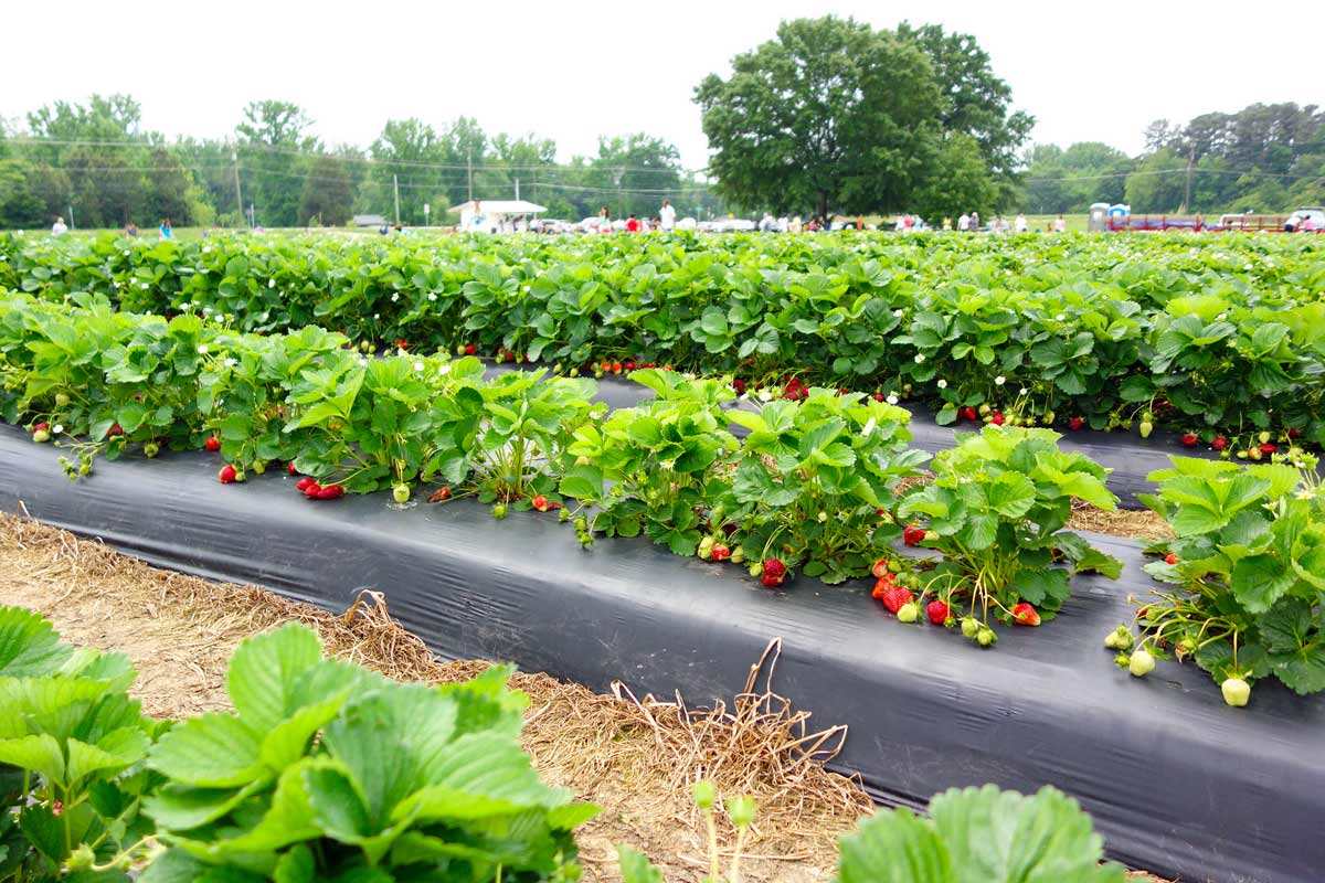 Необычная агротехника выращивания клубники в открытом грунте