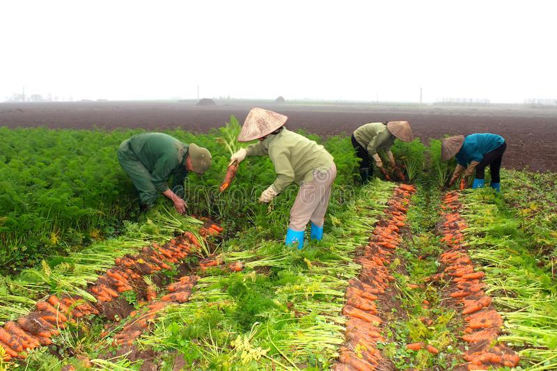 Сроки уборки моркови с грядок в 2021 году и советы по хранению
