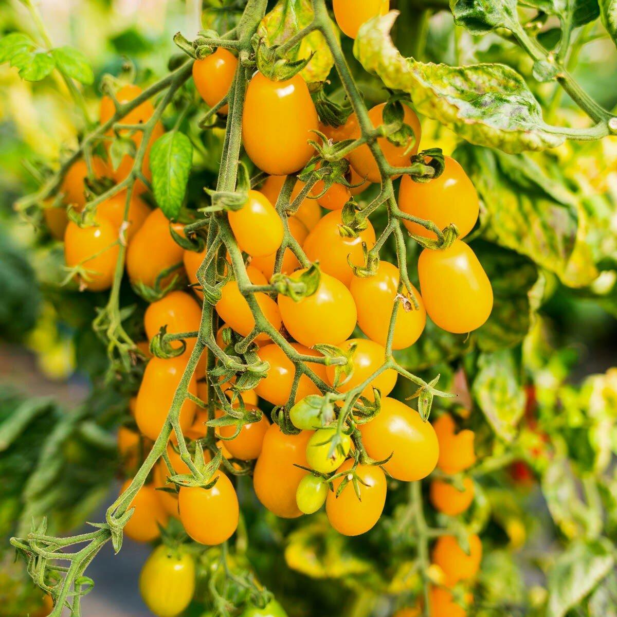 Томат медовая капля - описание, выращивание и уход