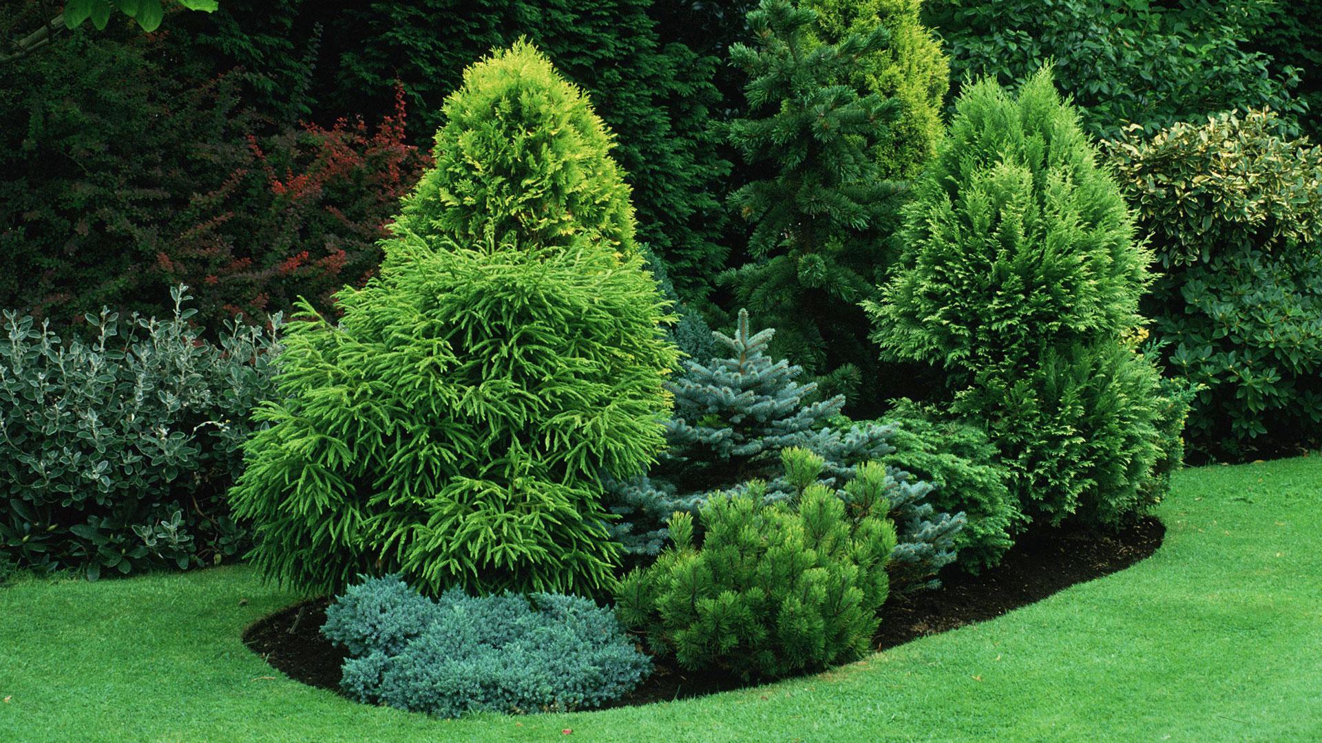 Декоративная сосна (34 фото): разновидности декоративных сосен для сада с описанием. как правильно посадить в горшок?