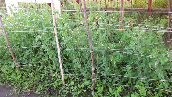 Как вырастить горох в открытом грунте, как подвязать и собрать на семена видео