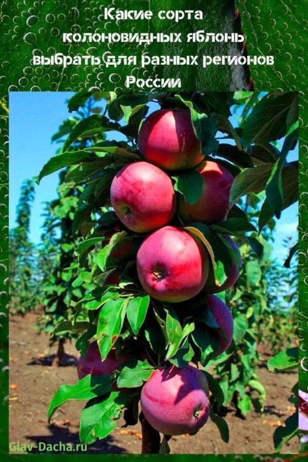 Яблоня колоновидная хороший сорт малюха, описание принципы выращивания и ухода за деревом в подмосковье