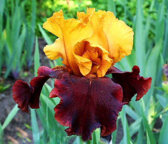 Цветы бородатые ирисы: лучшие сорта, фото и названия, высота и агротехника выращивания растений