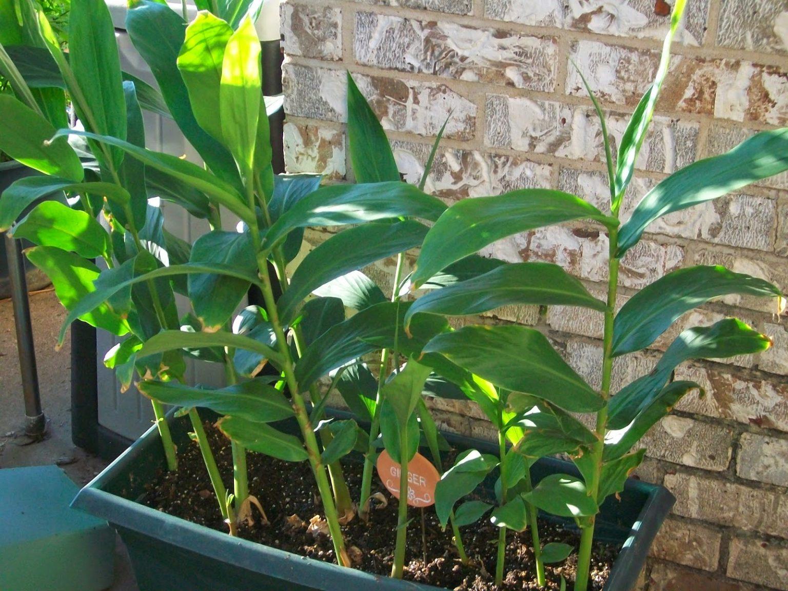 Как вырастить имбирь в домашних условиях из корнеклубня