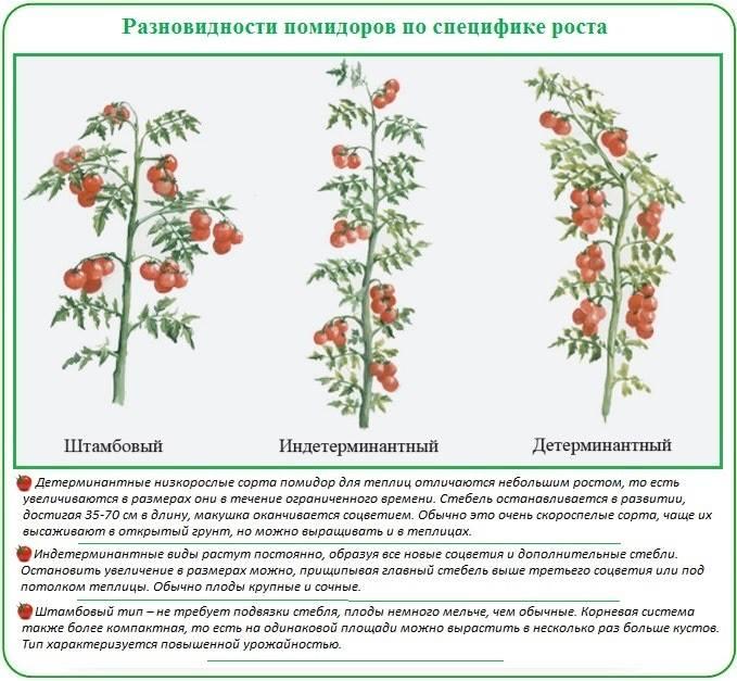 Сорта ранних низкорослых помидоров для открытого грунта