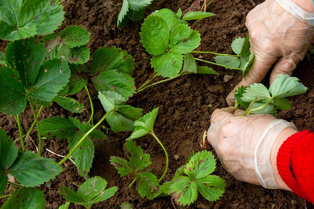 Удобрения для клубники весной для увеличения урожая - самые эффективные методы и средства