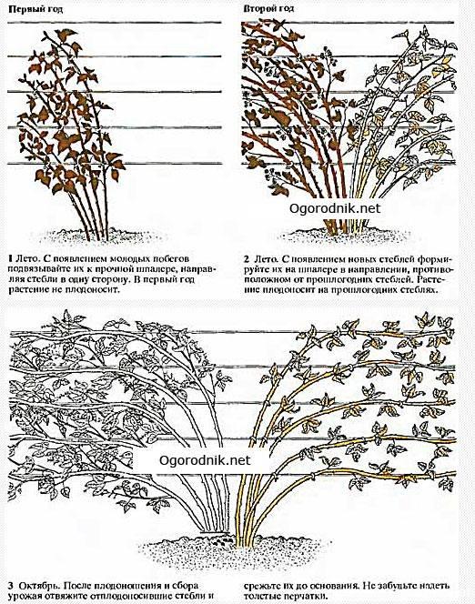 Характеристика и описание ежевики сорта Торнфри, выращивание и уход