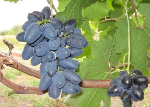 Сорт винограда атос – яркая сладость крупных гроздьев винного винограда